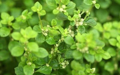 трава эрвы шерстистой лечебные и вредные свойства